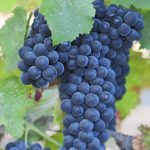 Malbec – Dry French Red Wine