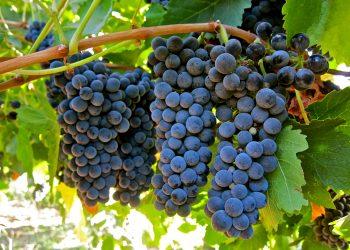 Petite Sirah – The Big Little Grape