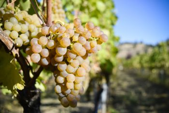 Everything You Should Know and Love About Viognier