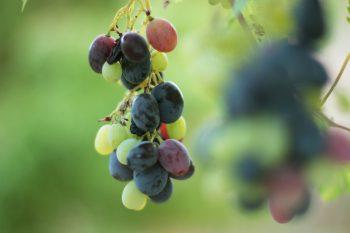 Black Grapes from Jordan Vinyards